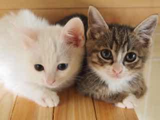 白い子猫とキジトラの子猫