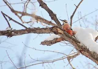 雪のつもった枯れ木に止まる鳥