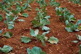 土耕栽培される野菜