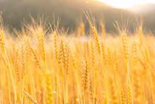 畑になった大麦