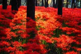 林に咲く彼岸花に光が差す