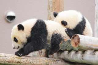 遊ぶつがいのパンダ