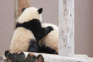 友達を毛づくろいするパンダ