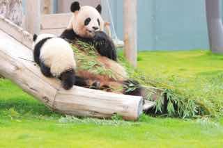 のんびり笹をたべるパンダ達