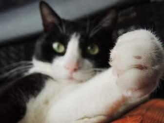 前に足を出す猫