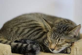 寝るキジトラ猫
