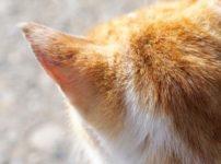 猫の後頭部と耳