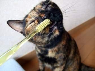 猫の歯磨き