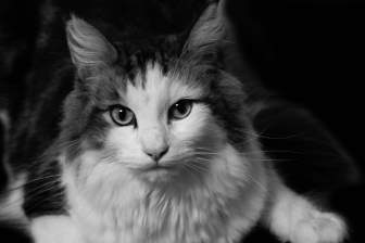 白黒画像の猫(長毛種)