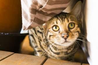 上目遣いのトラ猫
