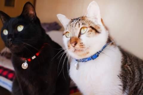 首輪をした白と黒の猫